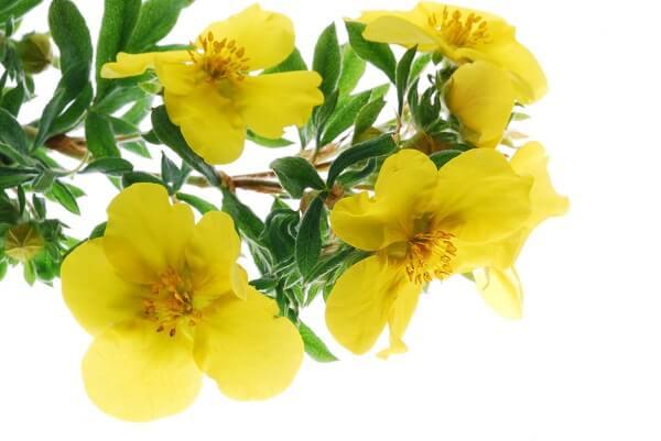 Ý nghĩa của hoa Anh Thảo