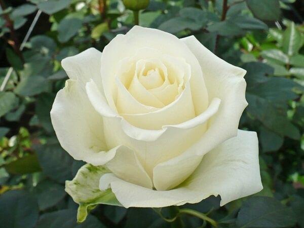 Ý nghĩa của hoa hồng theo màu sắc