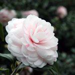 5 tác dụng phong thủy của hoa trà với ngôi nhà bạn