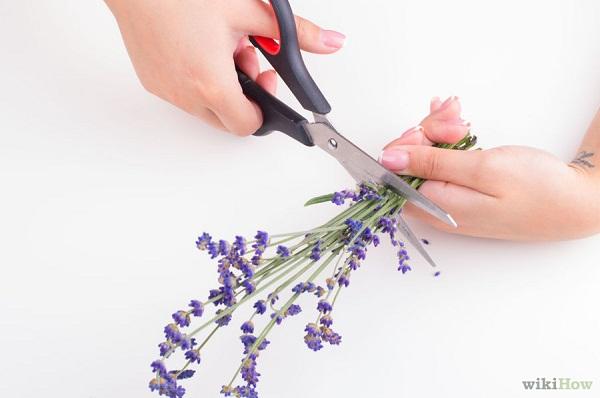 Cách làm tinh dầu hoa oải hương tại nhà bước 1
