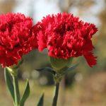 Nguồn gốc và ý nghĩa của hoa Cẩm Chướng