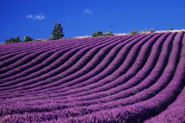 Những giống hoa oải hương phổ biến nhất thế giới
