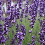 Những giống hoa oải hương phổ biến trên thế giới