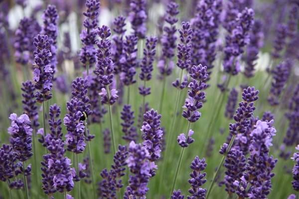 Những giống hoa Lavender phổ biến nhất thế giới