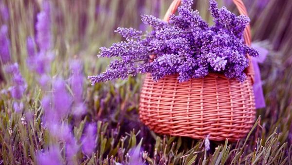 Ý nghĩa của hoa oải hương