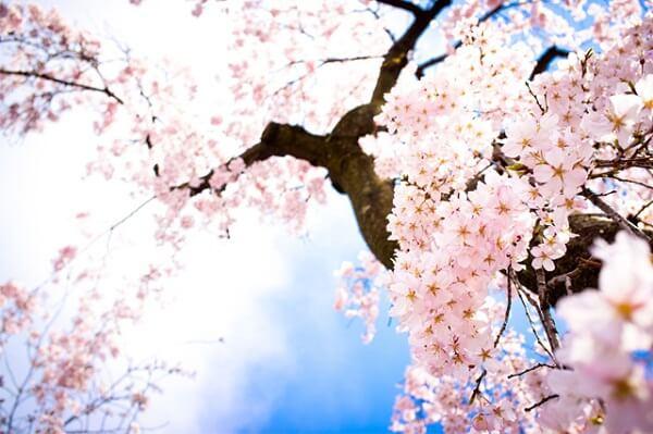 Ý nghĩa của hoa anh đào trong văn hóa nhật