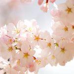 Ý nghĩa của hoa Anh Đào trong văn hóa Nhật Bản