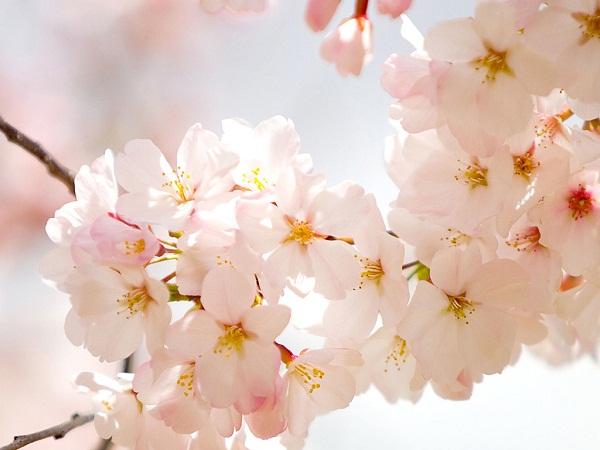 Kết quả hình ảnh cho hoa anh đào