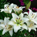 Ý nghĩa của hoa bách hợp – Lily