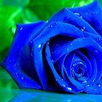 Ý nghĩa của hoa hồng xanh trong tình yêu