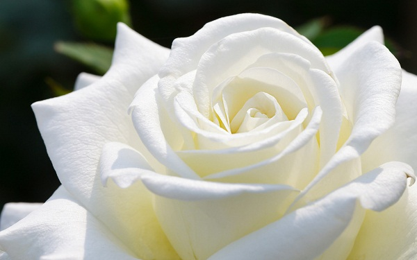Ý nghĩa màu sắc hoa hồng cài áo mùa Vu Lan