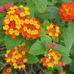 3 loài hoa giúp muỗi và côn trùng tránh xa ngôi nhà của bạn