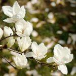 Hoa mộc lan và những điều có thể bạn chưa biết
