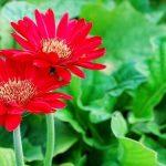 Những loài hoa mang ý nghĩa của sự may mắn