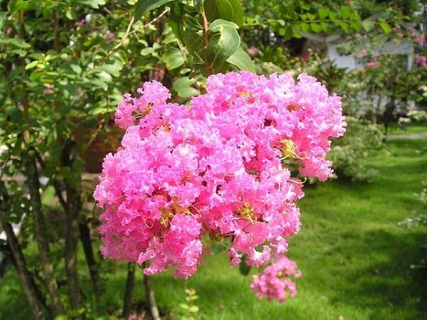 Tìm hiểu ý nghĩa hoa tường vi trong tình yêu