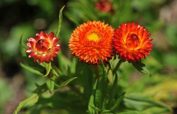 Ý nghĩa của hoa bất tử: loài hoa của tình yêu bất diệt