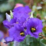 Ý nghĩa của hoa cát tường: May mắn và tình yêu