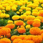 Ý nghĩa của hoa cúc trong văn hóa Việt Nam và các nước Phương Đông