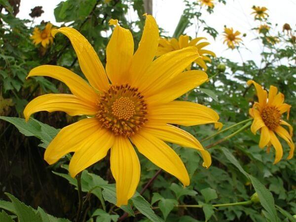 Ý nghĩa của hoa dã quỳ trong tình yêu