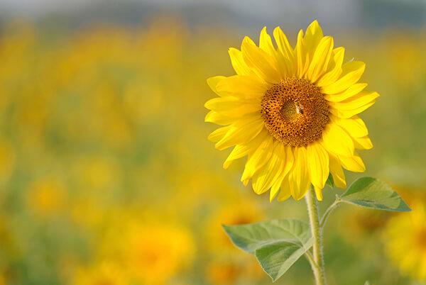 Ý nghĩa của hoa hướng dương trong tình yêu và cuộc sống