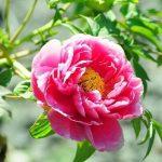 Ý nghĩa của hoa mẫu đơn trong văn hóa Việt Nam và các nước trên thế giới
