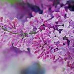 Ý nghĩa của hoa Tử Đinh Hương trong cuộc sống và tình yêu