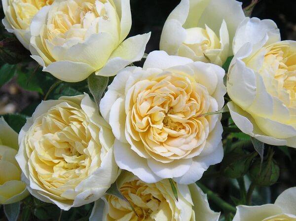 Gợi ý những giống hoa hồng ngoại thích hợp trồng tại Việt Nam hình ảnh