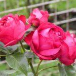 Gợi ý những giống hoa hồng ngoại thích hợp trồng tại Việt Nam