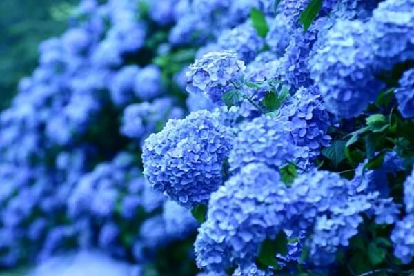 Ý nghĩa của hoa cẩm tú cầu (hoa dương tử)
