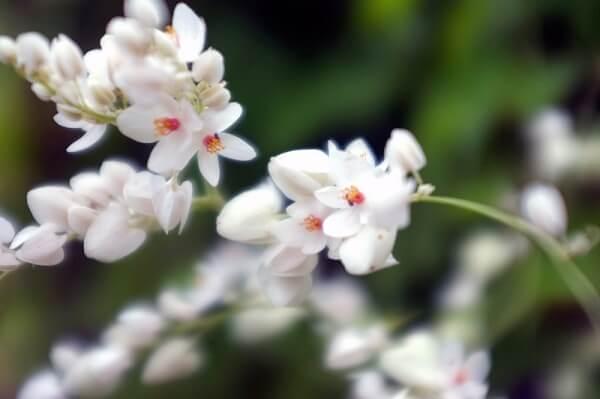 Ý nghĩa hoa ti-gôn trắng