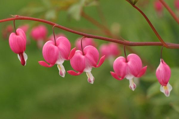 Ý nghĩa hoa Ti-gôn: Tình yêu tan vỡ