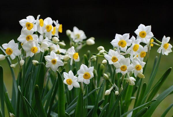 4 loài hoa biểu tượng cho 4 vùng đất của Vương quốc Anh Hoa thủy tiên