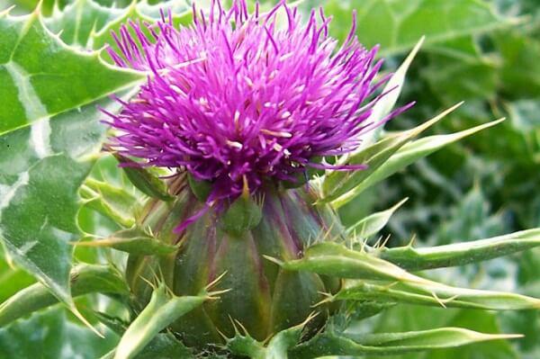 4 loài hoa biểu tượng cho 4 vùng đất của Vương quốc Anh cây kế