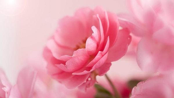 4 loài hoa biểu tượng cho 4 vùng đất của Vương quốc Anh