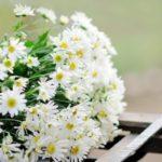 Cách giữ cho hoa cúc họa mi tươi lâu không bị héo