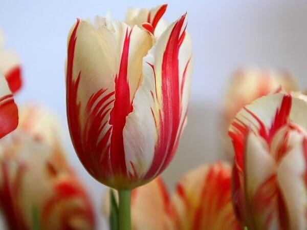 Nam Em: Hoa Tulip Và Những điều Có Thể Bạn Chưa Biết