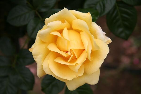 Những giống hoa hồng đẹp nhất thế giới (Phần 2) hình ảnh 1