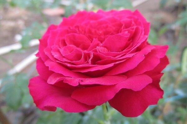 Hoa hồng đỏ Eden