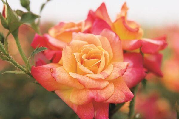 Những giống hoa hồng đẹp nhất thế giới (Phần 2)