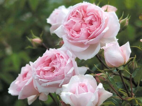 Những loại hoa hồng David Austin đẹp nhất hình ảnh 5