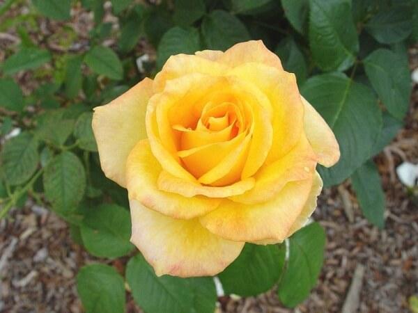 Hoa hồng Gold Medal