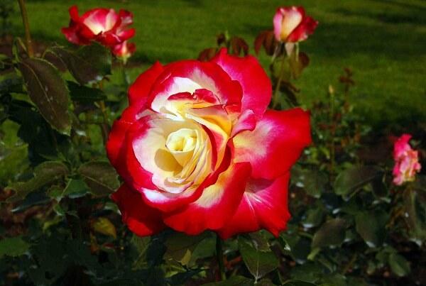 Những loài hoa hồng đẹp nhất thế giới