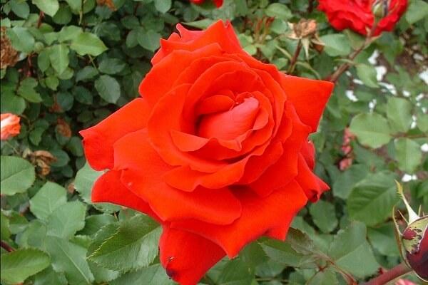 5 loại hoa hồng đẹp nhất thế giới