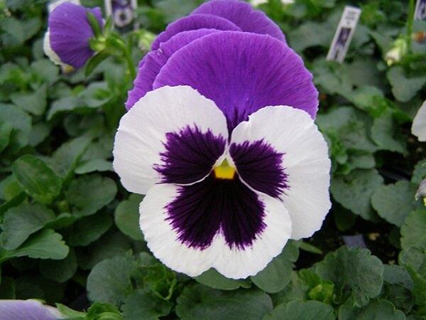 Trồng 5 loài hoa này ban công nhà bạn sẽ rực rỡ quanh năm hoa Pansy