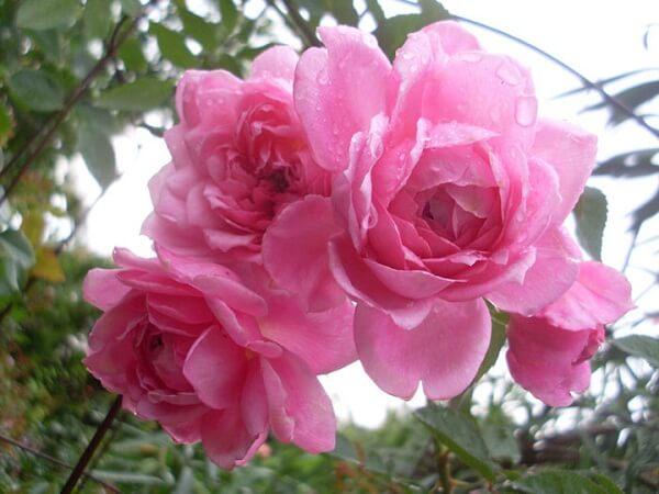 Trồng 5 loài hoa này ban công nhà bạn sẽ rực rỡ quanh năm