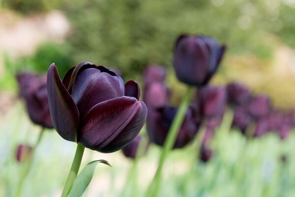 Ý nghĩa của hoa Tulip đen