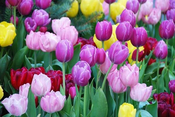 Ý nghĩa hoa Tulip – Uất Kim Hương