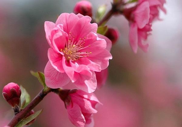 Những loài hoa mang may mắn nếu trưng trong nhà dịp Tết hình ảnh 2