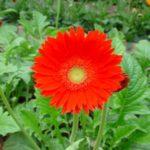 Những loài hoa mang may mắn nếu trưng trong nhà dịp Tết