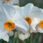 Ý nghĩa của hoa Thủy tiên